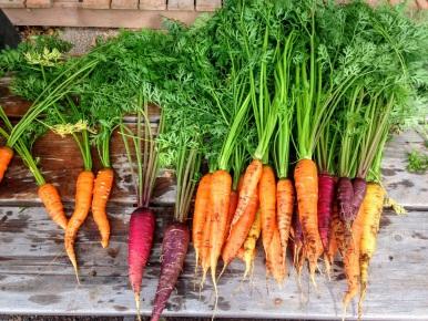 carrot-2743498