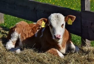 cow-3357534